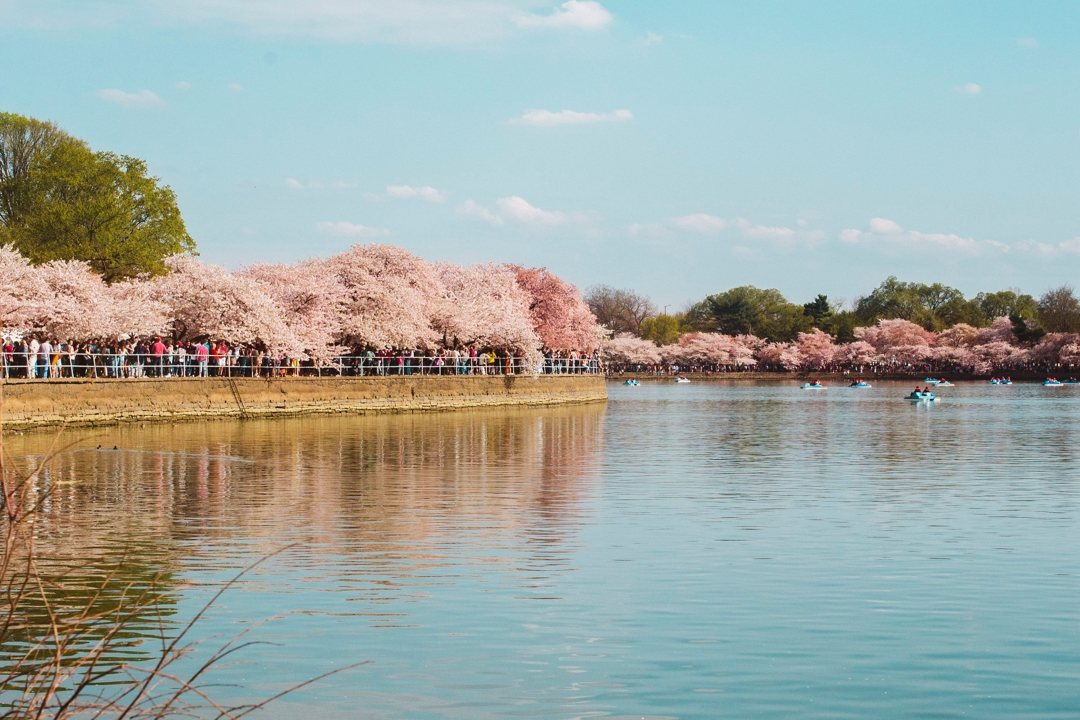Cherry blossoms in bloom at the Tidal Basin
