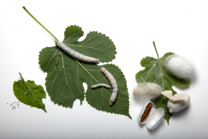 Mulberry leaves with silk worms and cocoons